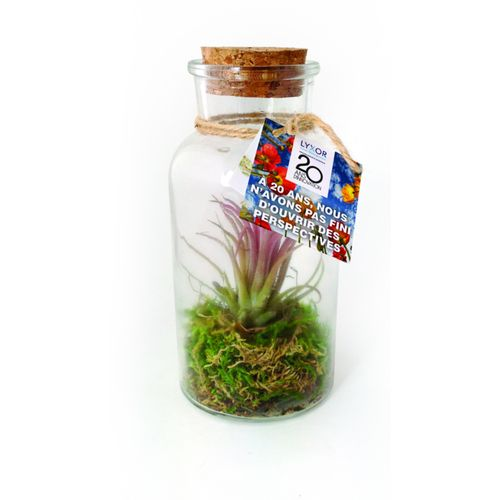 Terrarium pot tillandsia grand